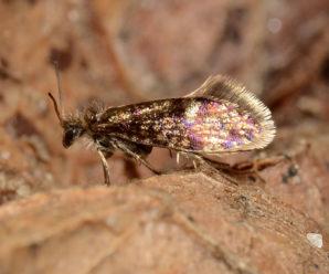 Eriocrania cicatricella