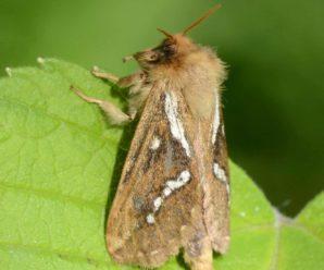 Korscheltellus lupulina