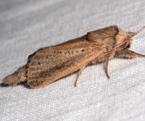 Phragmataecia castaneae