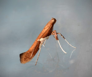 Caloptilia stigmatella