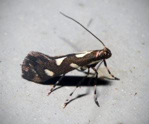 Calybites phasianipennella