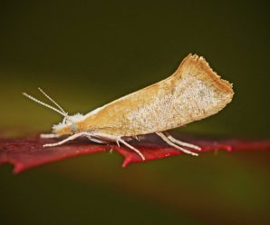 Ypsolopha lucella