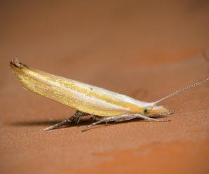Ypsolopha nemorella