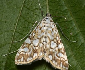 Elophila nymphaeata