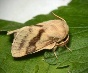 Malacosoma castrensis