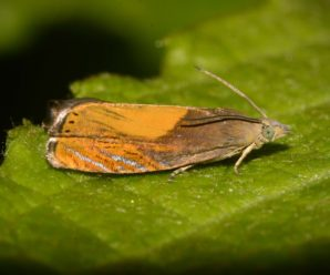Dichrorampha flavidorsana