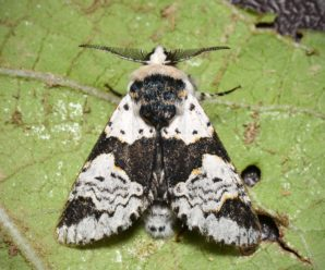 Furcula bicuspis