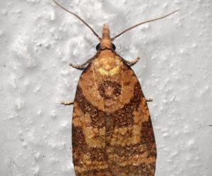 Sparganothis pilleriana