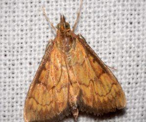 Ecpyrrhorrhoe rubiginalis