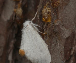 Euproctis similis