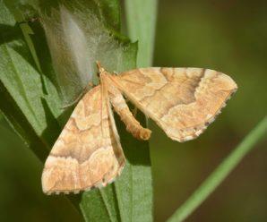 Eulithis mellinata