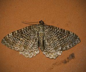 Hydria undulata