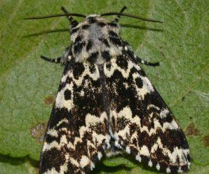 Panthea coenobita