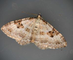 Xanthorhoe montanata