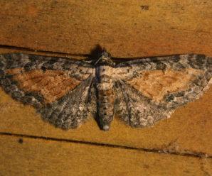 Eupithecia icterata