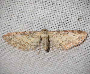 Eupithecia subumbrata