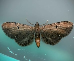 Eupithecia assimilata