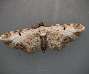 Eupithecia succenturiata
