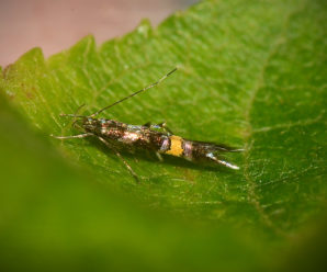 Cosmopterix zieglerella