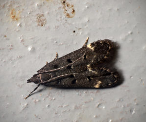 Dichomeris alacella