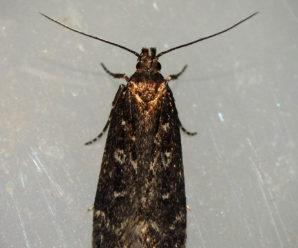 Gelechia sororculella