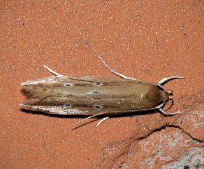 Limnaecia phragmitella