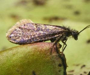 Eriocrania sangii/ Eriocrania semipurpurella