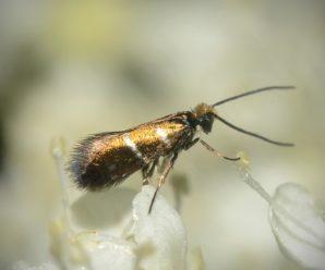 Micropterix aruncella