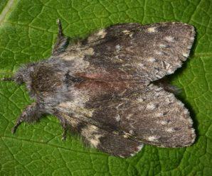 Stauropus fagi