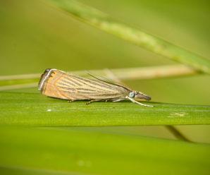 Chrysoteuchia culmella