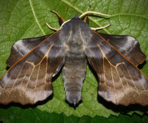 Laothoe amurensis