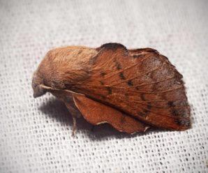 Phyllodesma tremulifolia
