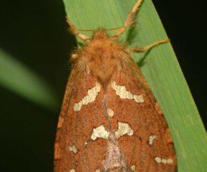 Phymatopus hecta