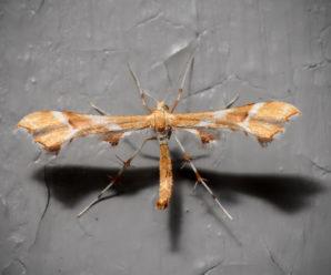 Cnaemidophorus rhododactyla