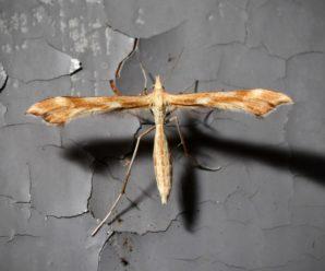 Gillmeria pallidactyla