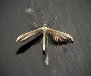 Hellinsia osteodactylus