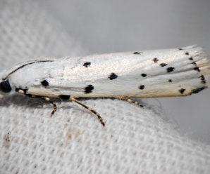 Myelois circumvoluta