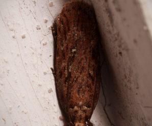 Depressaria olerella