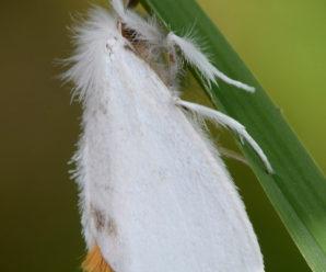 Sphrageidus similis
