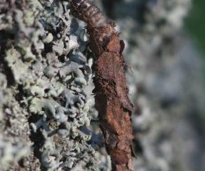 Canephora hirsuta