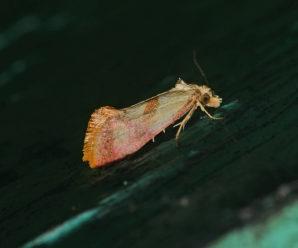 Cochylis flaviciliana