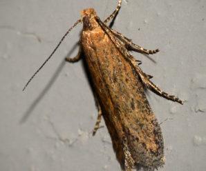 Athrips pruinosella