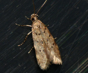 Pseudotelphusa paripunctella