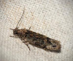 Psoricoptera gibbosella/ Psoricoptera speciosella