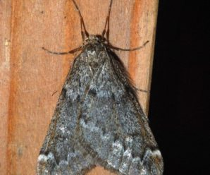 Alsophila aescularia