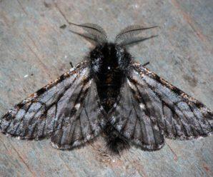 Lycia isabellae