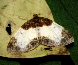 Mesoleuca albicillata