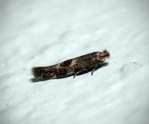 Bucculatrix humiliella