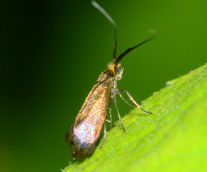 Nemophora cupriacella