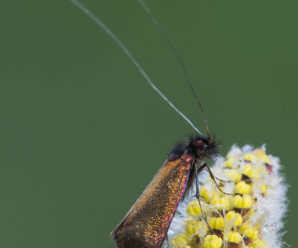 Adela cuprella